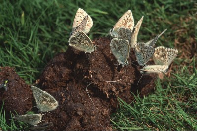 At least 14 butterflies, all with closed wings, on a heap of dung