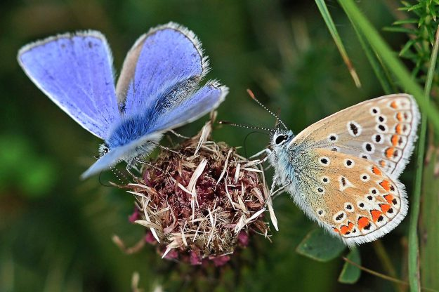 Two butterflies on a seedhead, one showing blue upperwings and the other the patterned underwing