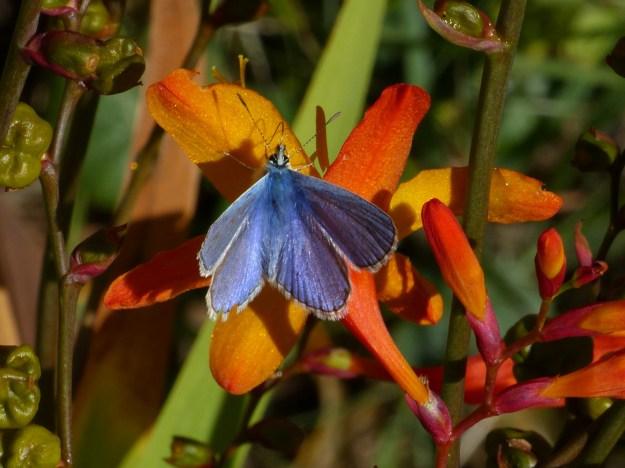 common Blue nectaring on Monbretia Flowers