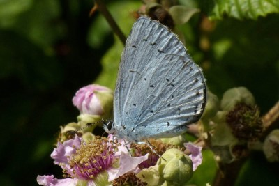 Pale blue butterfly seen from the side