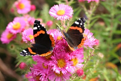 Two black, red and white butterflies on bright pink flowers