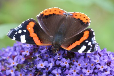 Black, red and white butterfly on a purple buddleia flower stalk