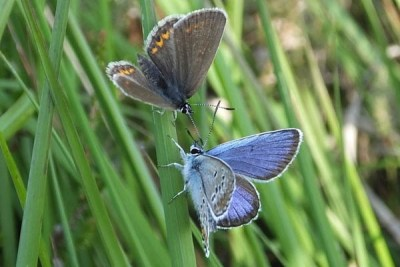 A blue and a brown butterfly facing one another on a grass stalk