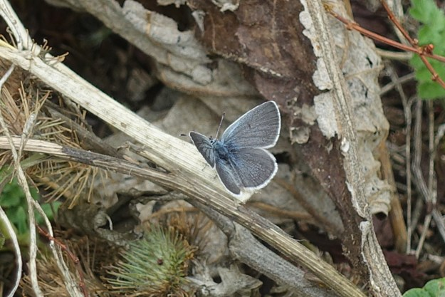 view of a Small Blue resting on dead twigs