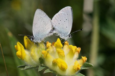 Two butterflies joined in mating on a yellow flower. Both have pale blue underwings with a few black dots.