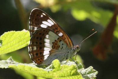Side view of brown butterfly with striking white markings