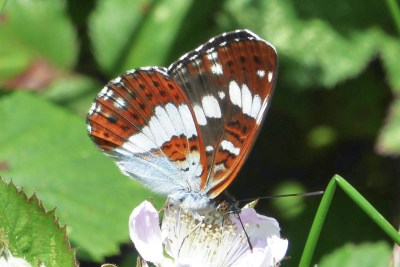 Underside of a butterfly feeding on bramble. Colours a mix of orangey brown and white.
