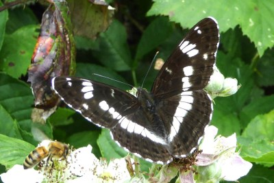 Dark brown, almost black, butterfly with striking white markings