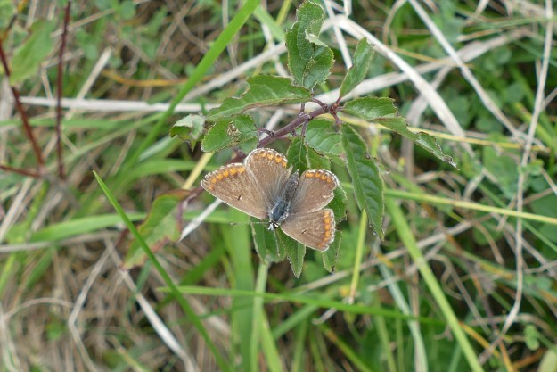 view of a faded Brown Argus on leaves showing upper wings