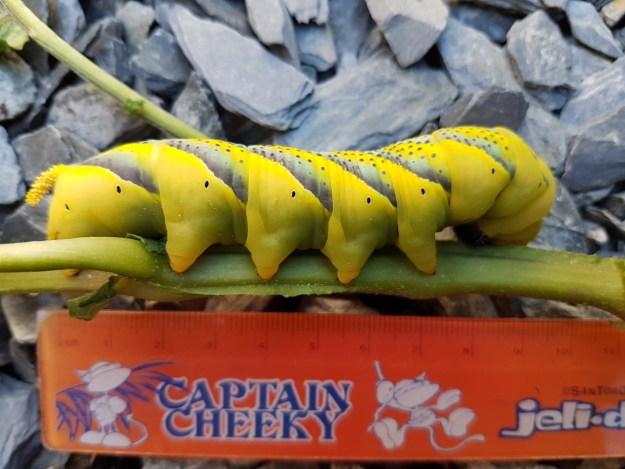 view of a Death head Hawkmoth Caterpillar