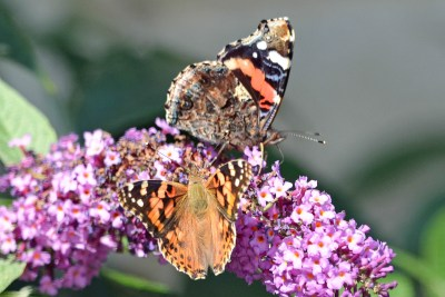 Two butterflies on a buddleia flower, one with wings open and one with wings closed
