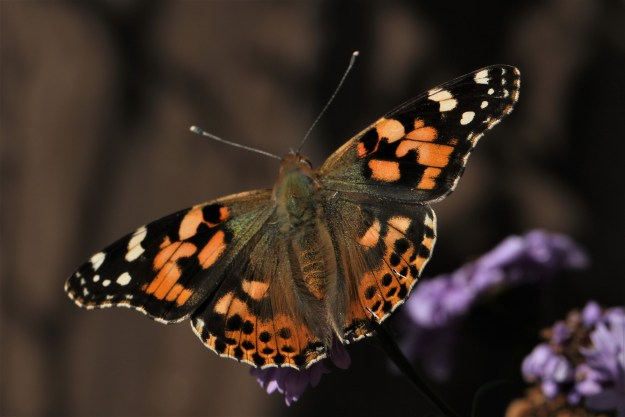 view of a Painted Lady showing a full upper-wing view