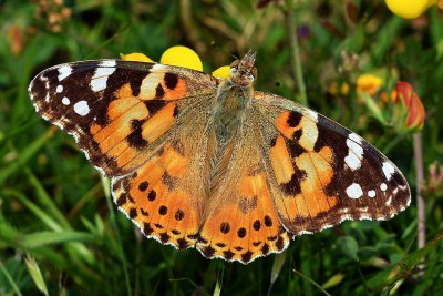 Orange butterfly with black and white markings