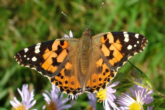 Butterfly with open wings: mainly orange with black and white and tiny specks of blue