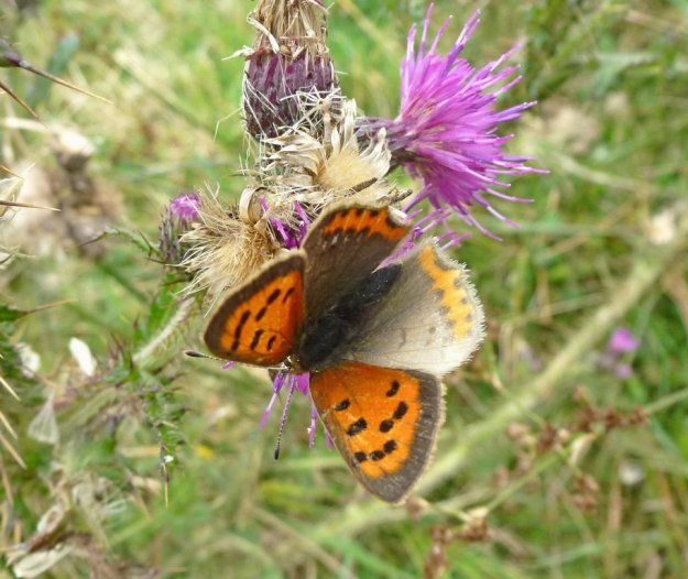 view of a Small Copper aberration, with one upper hind-wing  soft grey