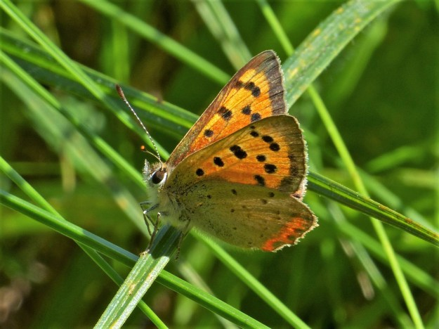 View of a Small Copper resting a a blade of grass with wings partially open