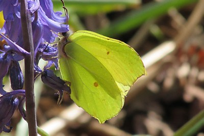 Bright yellow butterfly hanging from a bluebell flower
