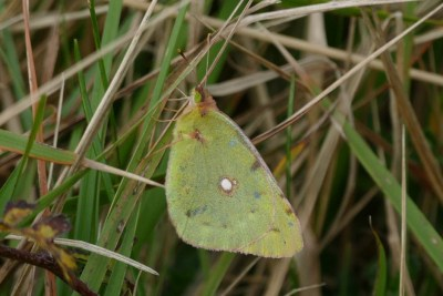 Pale yellow butterly in among some grass stalks