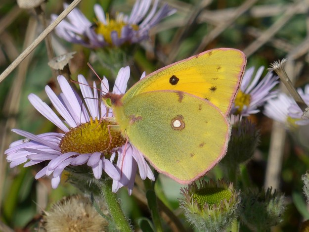 view of a Clouded Yellow nectaring on a Michaelmas Daisy