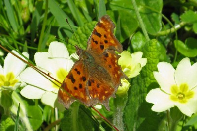 Bright orange butterfly with dark marks and ragged edges to its wings, on a primrose