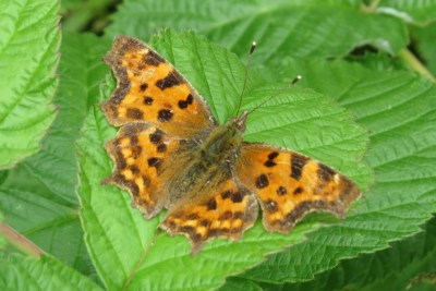 Bright orange butterfly with dark marks, looking rather worn