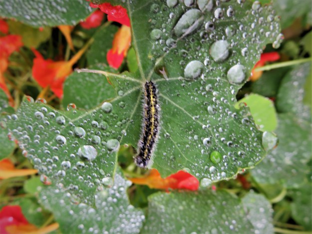 view of a Large White caterpillar feeding on Nastursum flowers