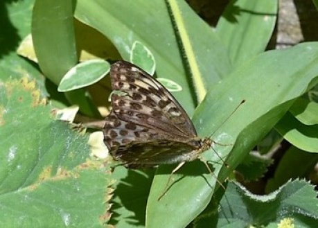 view of a Silver washed Fritillary, Valesina form. resting on leaves