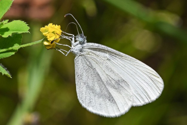 White butterfly, with faint grey markings; side view.