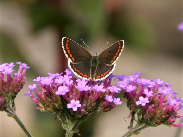 view of a Brown Argus with wings open nectaring on  Verbena