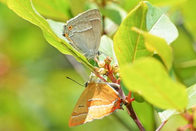Two butterflies with closed wings. Top on greyish, bottom on orange.