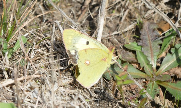 view of an tatty Helice form, Clouded Yellow resting on the ground showing a little of the pale under fore-wing