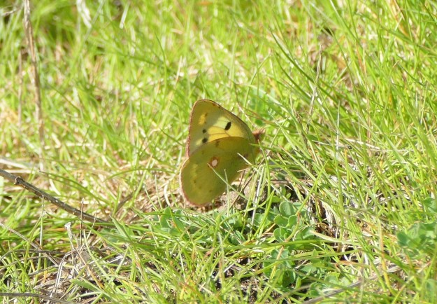 view of a Clouded Yellow resting on grass with wings half closed