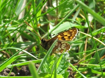 Darkish brown and pale orange butterfly with some white on the undersings, partly hidden among grass stalks
