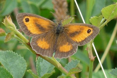 Butterfly with brown edges to its wings, and orange inside areas with dark slashes and eyespots on the forewwings.