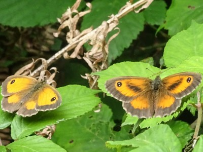 Two orange and brown butterflies with open wings, one with dark marks on the forewings