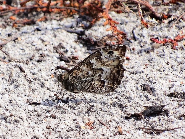 view of a Common Grayling resting with wings closed on gravel
