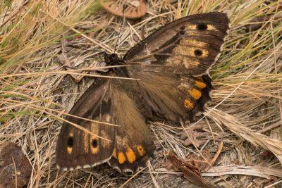 Dark brown butterfly with soem paler and orange markings