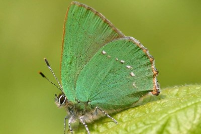 Side view of green butterfly with dotted white line.