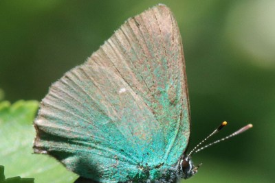 Side view of a butterfly which is green towards the body but the rest of the wings fade to brown