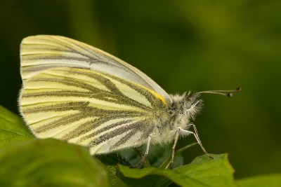 Side view of butterfly with very prominent grey veins against a mainly pale yellow background