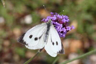 White butterfly with black tips to the wings and two prominent black spots on each forewing