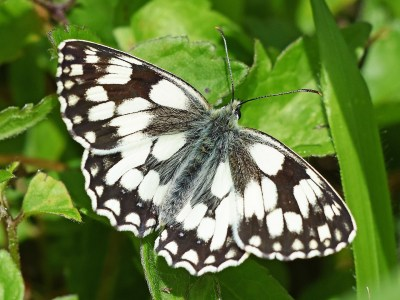 Butterfly with strong black and white markings on its upper wings