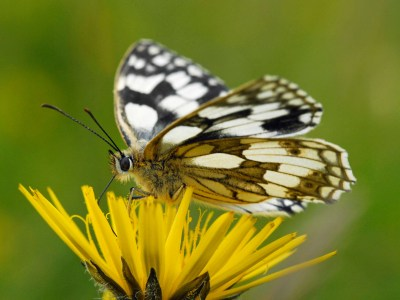 Black and white butterfly on a yellow flower