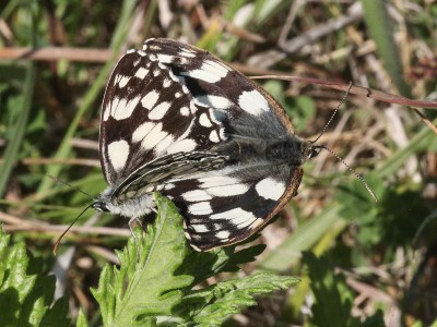 Two white and black butterflies in mating position on a leaf.