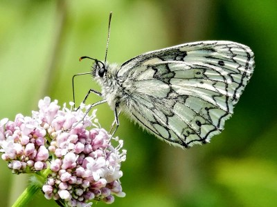 Black and white butterfly seen side-on, on a pale pink flower