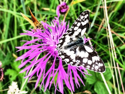Black and white butterfly next to a small orange butterfly on a purple flower.