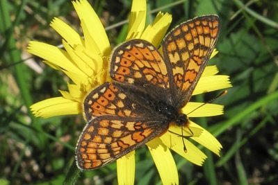 Orange yellow and brown butterfly on a yellow flower