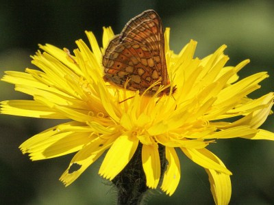 Small brown butterfly with lighter and brown markings