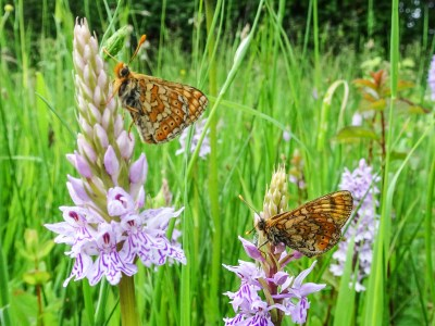 Two small orange butterflies with yellow and brown markings on pink flowers