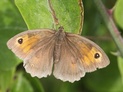 Brown butterfly with some orange on the forewings and an eyespot on each